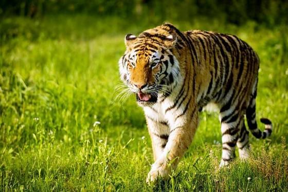 上海野生动物园里现有珍稀的东北虎近60头,更有惊险刺激的老虎跳水