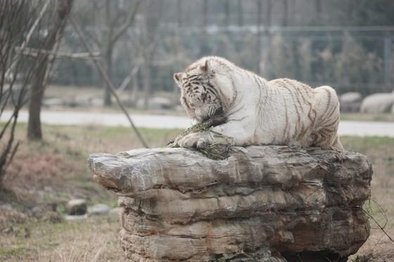 """""""上海野生动物园的老虎在吃草?""""小伙伴惊呼……是不是没吃饱?"""