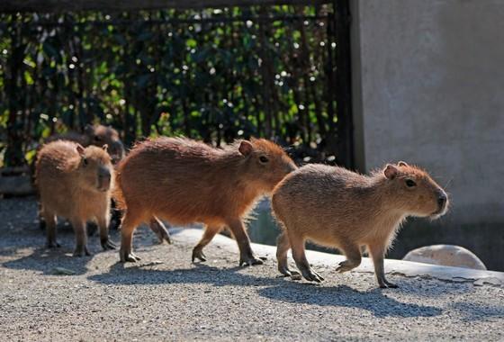 首页 上野动态 / 上野新闻          水豚是一种半水栖的食草动物