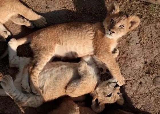 小狮子,小老虎,细尾獴,耳廓狐等,小小的动物总是招人喜爱,萌