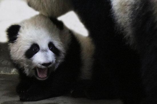 人类会健身,动物们也喜欢自己美丽的身材。因为在动物界找对象可完全是颜控和身体控,只有长得好看的、体格健壮的,才有繁衍后代的权利! 上海野生动物园的动物们是怎么做到的呢? 熊猫妈妈带宝宝:我的宝贝们132天啦,小肉球越来越大,叼起来就够健身的!   熊猫哥哥爬栏杆:这可是技术活,麻麻说能长高!    老虎跳水:预防膝关节疼痛。  大象瑜珈: 除疲劳消赘肉。  狗熊体操:强身健体。  猎豹短跑:塑造形体。  金丝猴攀跃:强健双臂。