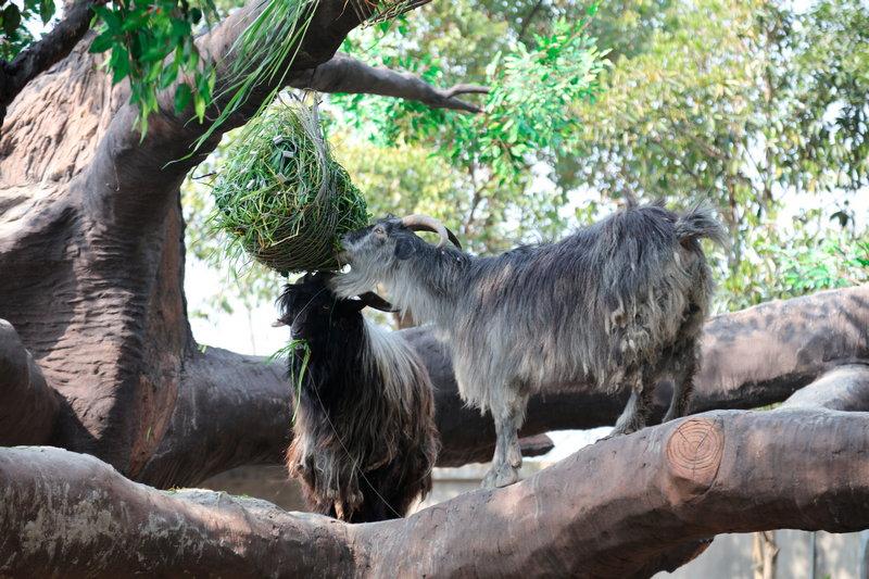 """来上海野生动物园看""""羊上树""""了"""