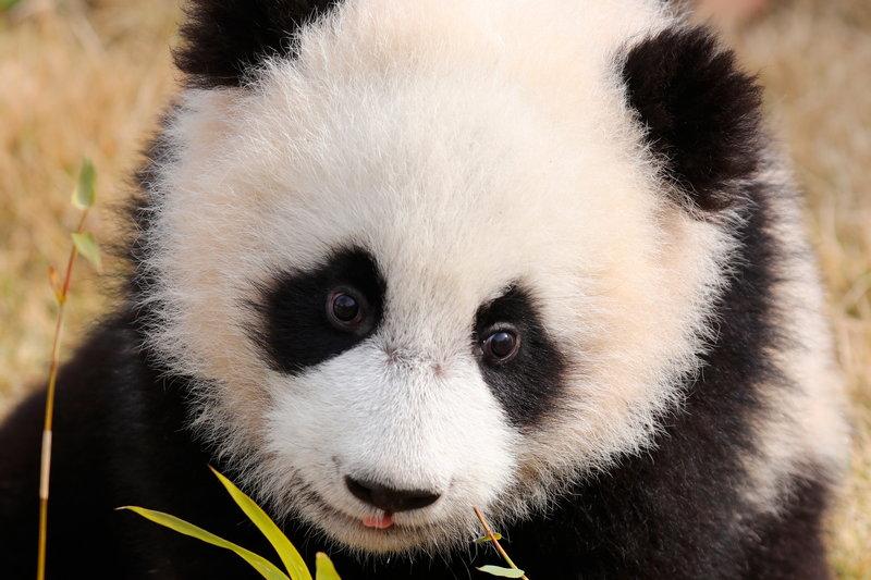 1,熊猫天生视力差(熊科动物共同特征),黑眼圈其实和人戴墨镜,戴百叶