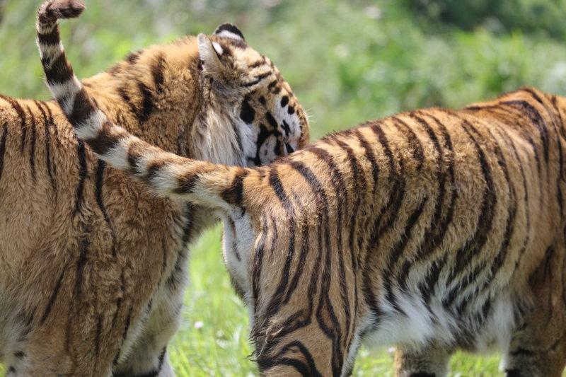 老虎与其他动物搏斗时,尾巴就成了有力的战斗武器,把敌方抽打得晕头