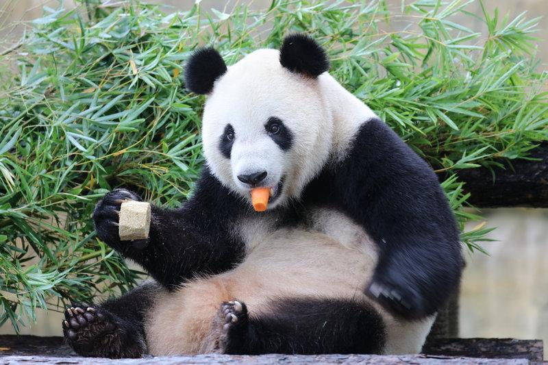 被誉为我国动物界的四大国宝你知道么?大熊猫、金丝猴、金毛羚牛和朱鹮。作为中华儿女,怎能不目睹一下国宝芳容。为了各位能够不用踏遍千山万水寻觅国宝踪迹,上海野生动物园将四大国宝齐聚上海,让您能够在家门口尽享国宝乐趣。 萌态可拘大熊猫 在上野的大熊猫馆内有驻扎上海13年的吃货熊猫雅奥为您表演华丽的吃竹秀,还有华东地区出生的第一对双胞胎月月、半半和妈妈优优向您展示萌猫一家的欢乐日常。   精灵古怪金丝猴 金丝猴有着美丽的毛皮与优雅的动作,性格也十分温和。机灵古怪的它们不仅在群体内部搞恶作