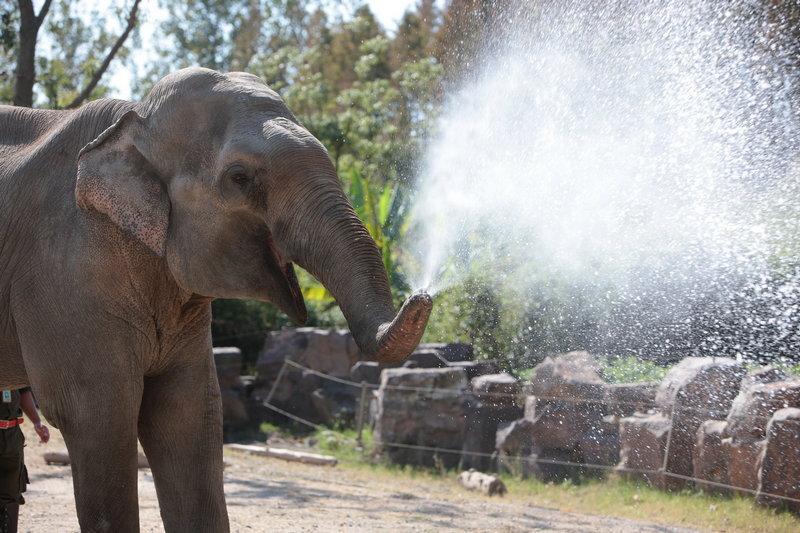 在上海野生动物园里居住着一群萌兽,有着各自的独门绝技,让我们来看看它们有哪些才艺吧。 1、亚洲象虽然外形庞大,但内心却温柔无限,舞蹈天赋更是一绝,会跟随节奏时而跳起欢快的踢踏舞,时而又舞起优雅的圆舞曲,还会用它灵活的鼻子玩转呼啦圈。   2、亚洲象也是一名出色的园丁,它每天精心浇水灌溉着生长在展区里的花草树木。   3、从古至今,亚洲象也是人类的搬运好帮手,在东南亚的国家,因大型重型的机械无法进入丛林,全由大象进入丛林用鼻子搬运各种的木材和石材。   4、可别小瞧亚洲象笨拙的身躯,球技可了得,运球、抛球、