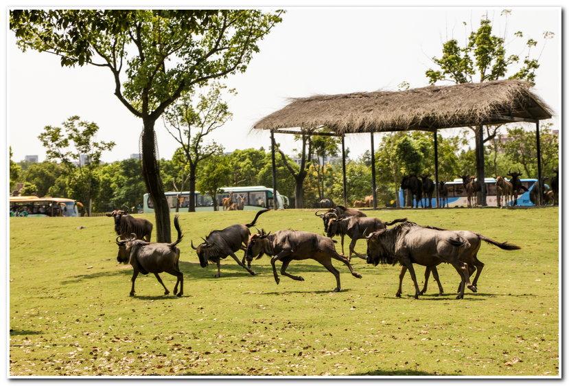 在非洲野外,为寻求水源和青草,数以百万计的食草动物从坦桑尼亚的塞伦盖蒂向肯尼亚的马赛马拉迁徙,约150万只角马是其中的主力。途中它们需要渡过鳄鱼出没的马拉河,这一壮观场景被称为天国之渡。  而在上海野生动物园食草区,由于食物和水源充足,动物无需千里跋涉去寻找,这就无形中增长了动物的懒惰性。  为了刺激动物的运动行为,饲养员每天分三次将食物散在几百米长的马路上,动物一旦看到食物就会飞奔过来,这种状态好似非洲动物的大迁移,浩浩荡荡几十头斑马、大羚羊等食草动物排成长队跟随着饲养员加食物的节奏往前迁移,场面壮观。