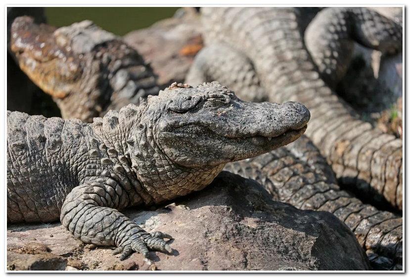 鳄鱼是极其珍贵的动物,那关于鳄鱼的这些冷知识,你都知道吗? 1、鳄鱼不是鱼,是爬行动物,鳄鱼之名,或是由于其像鱼一样在水中嬉戏,故而得名鳄鱼。  2、在极端情况下,鳄鱼可以坚持六年不进食也不会饿死。  3、鳄鱼的肝脏可在腹腔中前后移动以调节身体重心。  4、鳄鱼是地球上最聪明的爬行动物,鳄鱼的脑部是所有爬行动物中结构最进步的,拥有令人吃惊的记忆力和简单的思考能力。  5、鳄鱼不仅会靠着岸边晒太阳,它们有时也会到处走。鳄鱼实际上是非常灵敏的动物,其灵敏程度甚至超出人类的想象。  6、头部进化精巧,在狩猎时