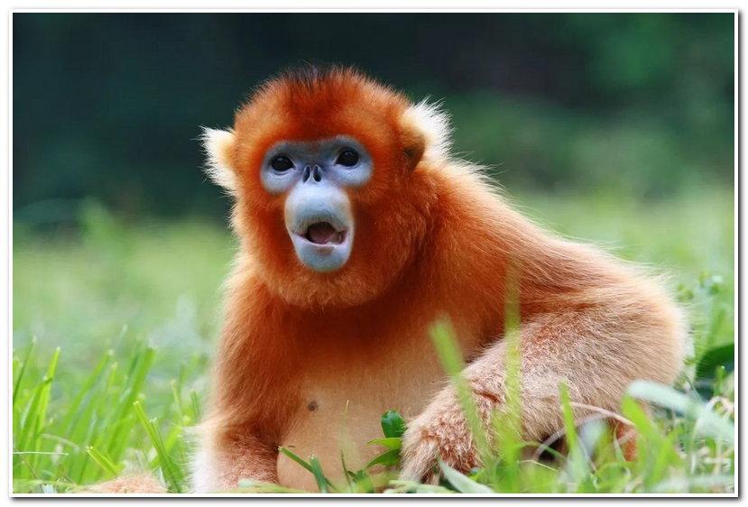 猩猩真的是猴子吗?