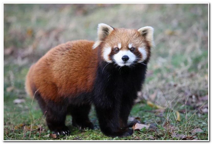 一首《野蛮游戏》后,江湖上就多了许多傻傻分不清楚的传说,球星科比与美国传奇歌手2PAC正面居然如此相似,都是一样棱角分明。是不是顿时觉得能分得清楚的只有老虎和老鼠了?其实,动物界让人傻傻分不清楚的对象更是数不胜数。 小熊猫与小浣熊 总有游客逮着小熊猫叫干脆面,真的是有点无奈。干脆面是浣熊的昵称,浣熊全身黑灰色,眼圈黑色,酷似戴了墨镜,眉、鼻、嘴的周围白色,典型的强盗妆。我是干脆面,我是灰色的,还有忍者神龟一样的眼圈。  小熊猫全身红棕色,颈腹部、四肢黑色,眼眉、嘴鼻周围和脸颊有白斑。我才是小熊猫,红