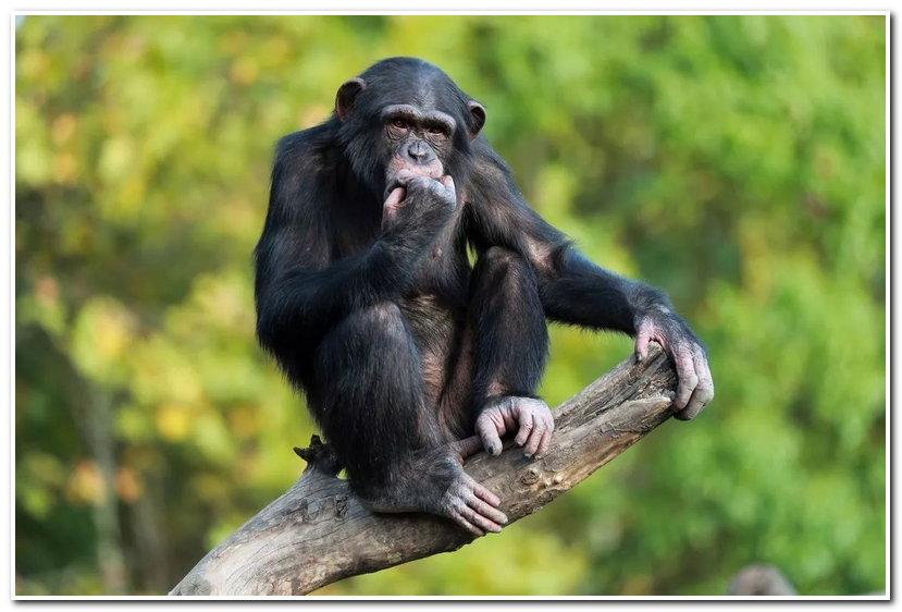 上海野生动物园的黑猩猩学会了一项新技能撞钟,配合饲养员的现场翻译(科普讲解),简直像看《动物世界》一样精彩。  黑猩猩撞钟与科普讲解结合,令游客兴趣盎然。黑猩猩能使用简单工具,是已知仅次于人类的最聪慧的动物。  小食蚁兽家族又添新成员,今年五月小食蚁兽妈妈又诞下一位千金。这是小食蚁兽夫妻来园之后的第三胎。  小食蚁兽宝宝在妈妈的呵护下茁壮成长,现在体重已经从458g长到了1700多克。饲养员在晴朗的天气会让她们母女沐浴在阳光下与游客见面。