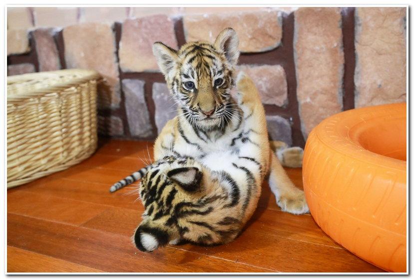 每年11月20日是世界儿童日,是为促进儿童保护、福利和教育等事业的发展而设立的。今天是世界儿童日,不光是小朋友、大朋友们开心,就连动物宝宝们也来凑热闹,就让我们和它们一起过个快乐的节日吧!上海野生动物园一直致力于提高动物的福利,特别是动物宝宝们,过着幸福快乐的生活,还有奶爸奶妈的宠爱,令人称羡! 熊猫宝宝 空调房、花园别墅、自带泳池,每天只负责吃吃玩玩这种生活只应天上有啊!  小老虎 虽然因种种原因暂时离开了父母,但是有奶爸的疼爱,一样很幸福哦!  小熊猫 为了防止宝宝吃多变胖不运动而影响健康,饲养员精