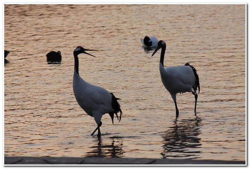 丹顶鹤,戴冕鹤的腿也很好看哦,走起路来,气质形象都不输超模.