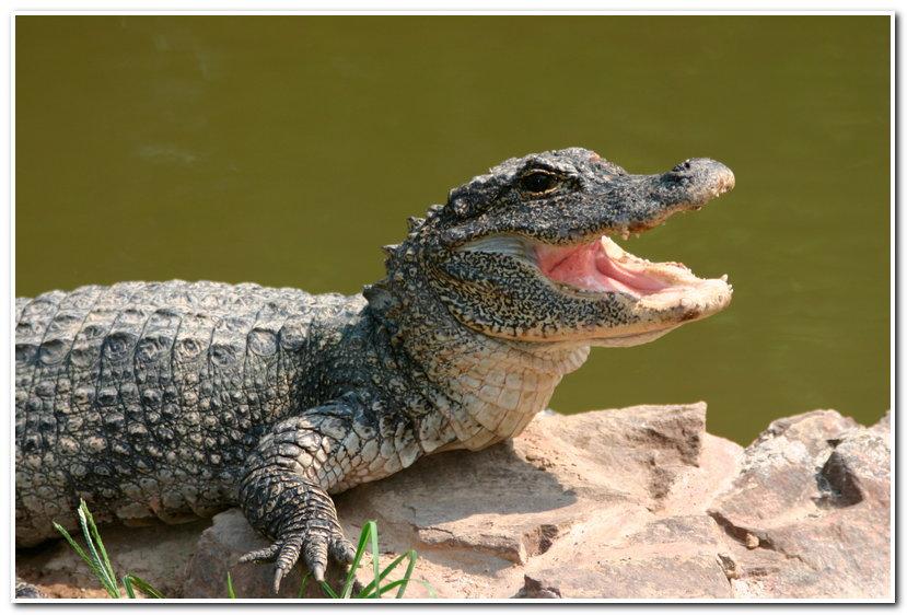一些动物一辈子都在换牙,旧牙坏了就换新牙,代表动物是鲨鱼,鳄鱼和