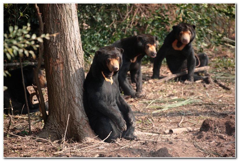 14:38           马来熊是食肉目马来熊属下一种小型的熊类动物.