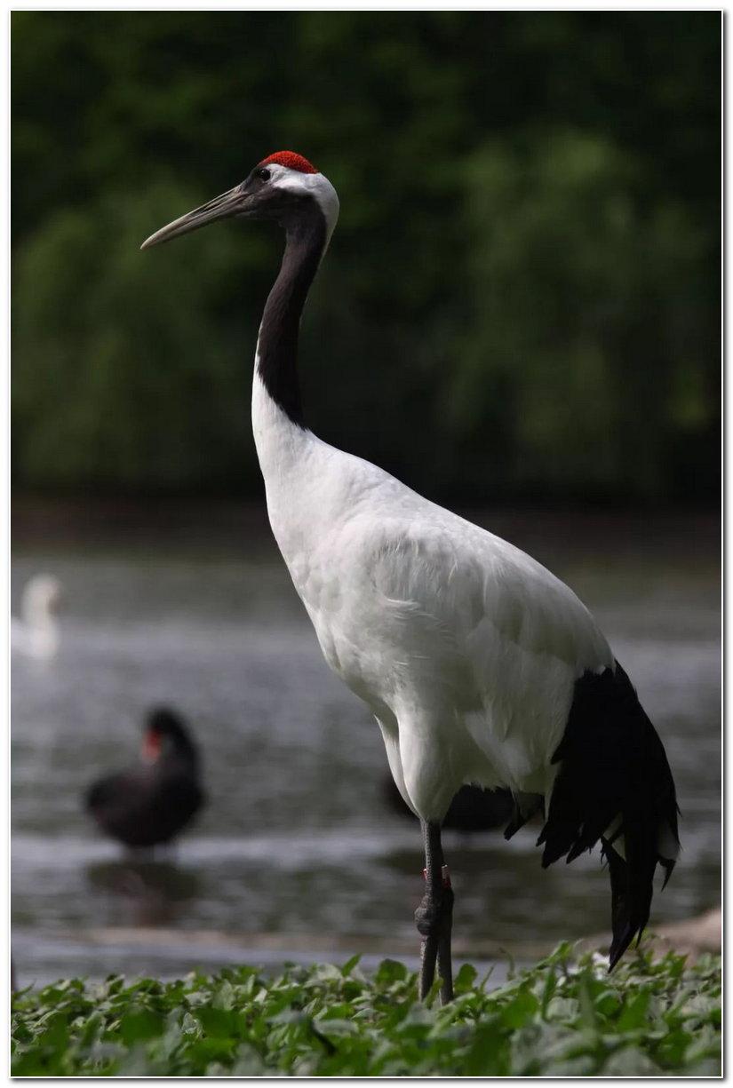 你知道丹顶鹤的尾巴是什么颜色吗?