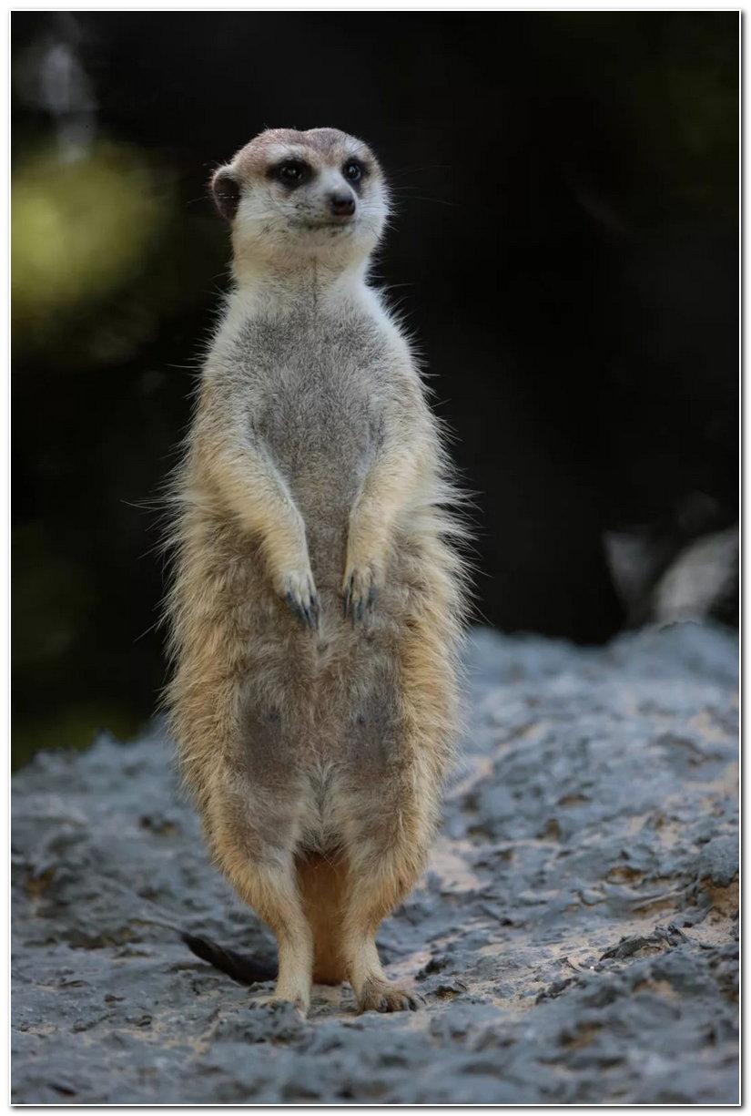 它们是非常社会化的动物,住在可达到四十只的群落里,繁殖无严格的季节