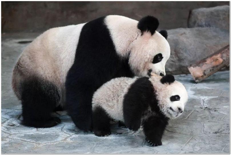 熊猫宝宝活泼可爱,再不来它们就长大咯!