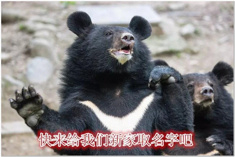 为了给游客带来更好的互动体验,步行区黑熊展区正在进行系统性的升级改造。需要各位朋友为这个展区取一个好听点儿的名字,或是有趣或是生动。升级后的黑熊展区将会是这样:  沉浸式水下观景区,下沉式观赏道,提供了沉浸式的黑熊水下展示,游客可以独特角度观赏动物。  仿黑熊自然生存环境、配备浅滩式水池,使黑熊更欢愉。  空中投喂平台,游客前往平台的踏步设置在背景岩体上,有置身大自然的错觉。  深入展区内部,享受独特的观赏角度,同时漂浮的玻璃地板可以让游客挑战自我。  关注上海野生动物园微信给黑熊新家取名字吧!入选的名字