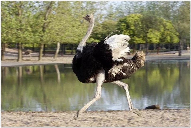 世界上鸟儿千千万万种,而世界上体型最大的三种鸟儿,都在上海野生动物园可以看到。 NO.1鸵鸟 鸵鸟(学名:Struthio camelus),是世界上最大的一种鸟类。高可达2.5米;鸵鸟蛋也是世界上最大的蛋;也是世界上现存鸟类中唯一的二趾鸟类,会跑不会飞,奔跑平时速度达60km/h,最快时可达72km/h。有生长快、繁殖力强、易饲养和抗病力强等优点,在许多国家被广泛驯养。   观赏地点:斑马苑、跑狗场、车入区的食草区 NO.
